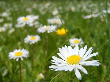 daisies-364737__340