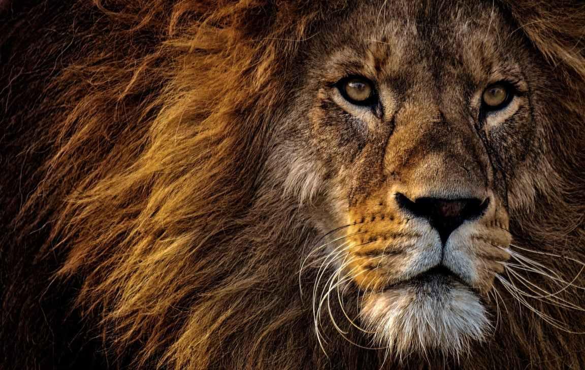 Lion pexels-photo-2220336